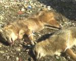 Odstreljena dva šakala na ovogodišnjoj manifetsaciji u Gornjoj Vrežini