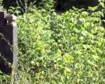 Niško Staro groblje - istorija grada, zapušteno i zaraslo (VIDEO)
