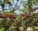 Град Прокупље тражи решење да тржишно заштити произвођаче воћа