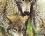 U hajci odstreljena 4 vuka