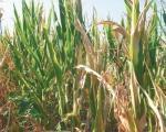 Srbija će imati dovoljno hrane i pored suše