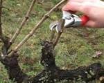 Почела резидба винове лозе у Топлици