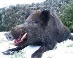 Ловци јели заражено месо дивље свиње