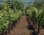 Обавеза виноградара да се упишу у Виноградарски регистар