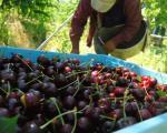 Pri kraju berba višnje u Pčinjskom okrugu