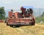 Рекордни приноси пшенице у најкраћој жетви на југу Србије