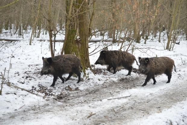 Нема дивљих свиња заражених афричком кугом у прокупачком крају