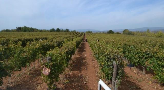 Rod i kvalitet grožđa u Toplici na zavidnom nivou