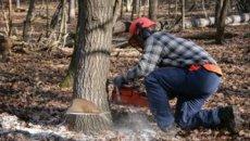Исечено стабло пало на дрвосечу и убило га
