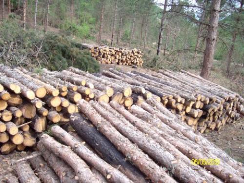 Бесправна сеча 120 кубних метара дрвета у Прокупљу