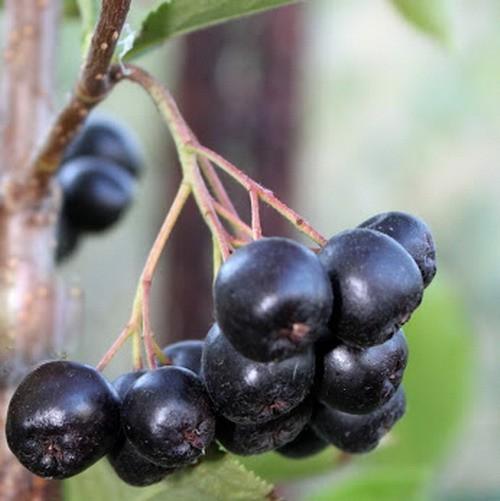 sadnice aronije