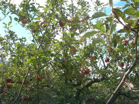 Кад је добио батине схватио да не краде државне јабуке  Фото: Љ. М. / РАС Србија