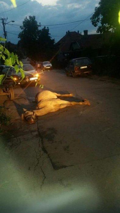 Iznemogla životinja umire na ulici, Foto: RAS Srbija