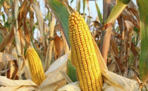 Дани поља кукуруза - који хибриди дају најбоље приносе