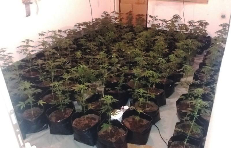 254 стабљика, око 5.100 грама лишћа и 370 грама сасушене марихуане у Сокобањи