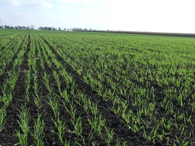 Za sada nema oštećenja na pšenici i drugim ozimim kulturama