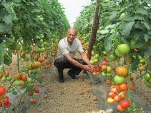 Prepolovljena cena paradajza, povrtari okrenuti izvozu