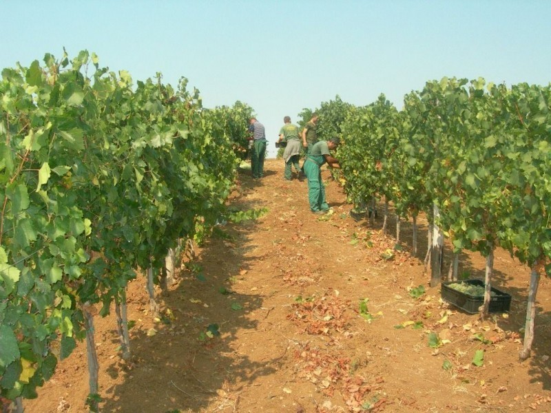 Очекује се добар и квалитетан род грожђа у Топлици