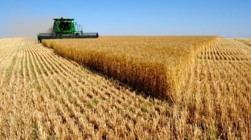Министар Недимовић о пшеници: Биће око милион тона за извоз