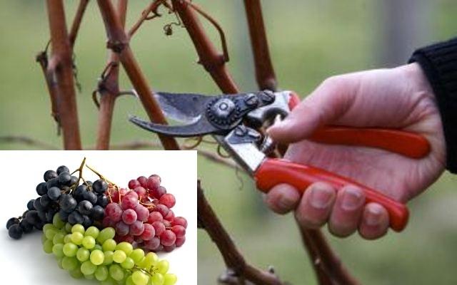 Нишки виноградари орезали лозу у част Светог Трифуна