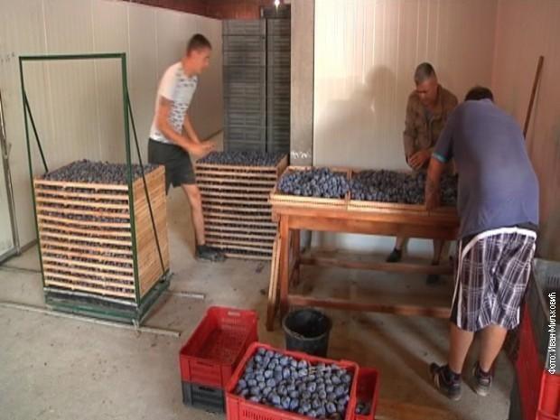 Произвођачи шљива у Блацу остали без зараде
