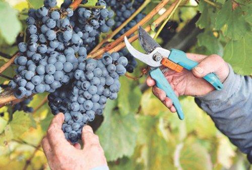 НИШЛИЈИ УНИШТИЛИ ЖИВОТНИ САН: Преко ноћи му исекли виноград