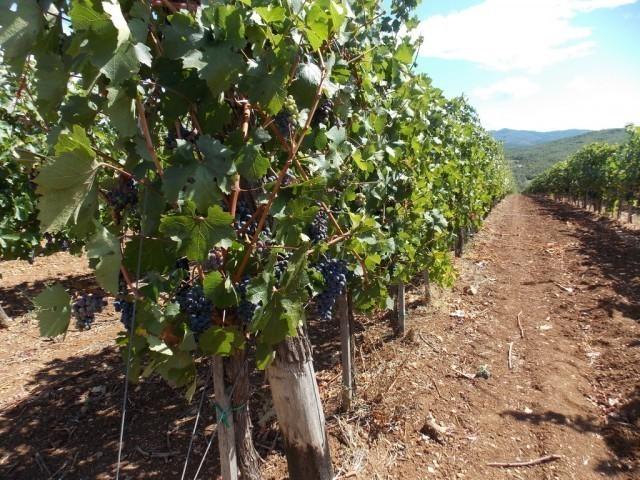 """Kvalitet grožđa u """"Topličkim vinogradima"""" na prvom mestu"""
